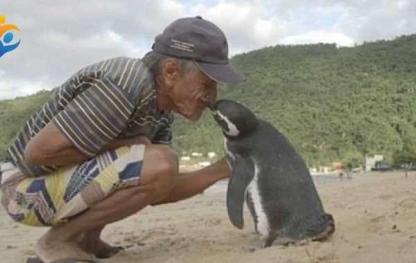 El pingüino que nada 8,000 km cada año para ver al hombre que le salvó la vida